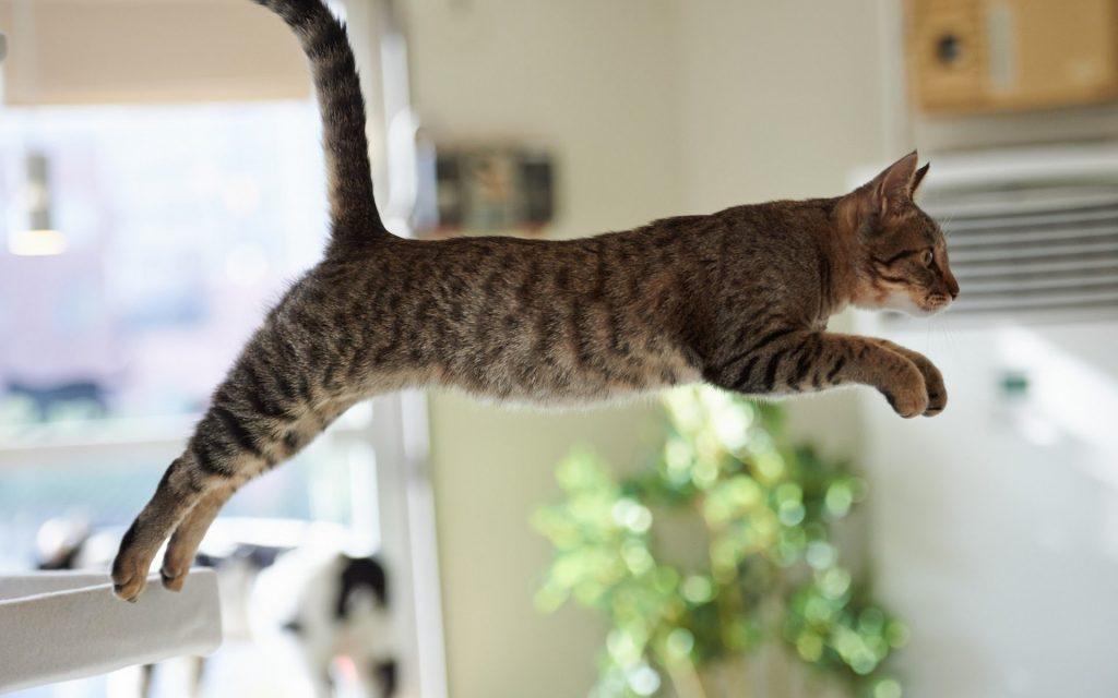 Gato pulando