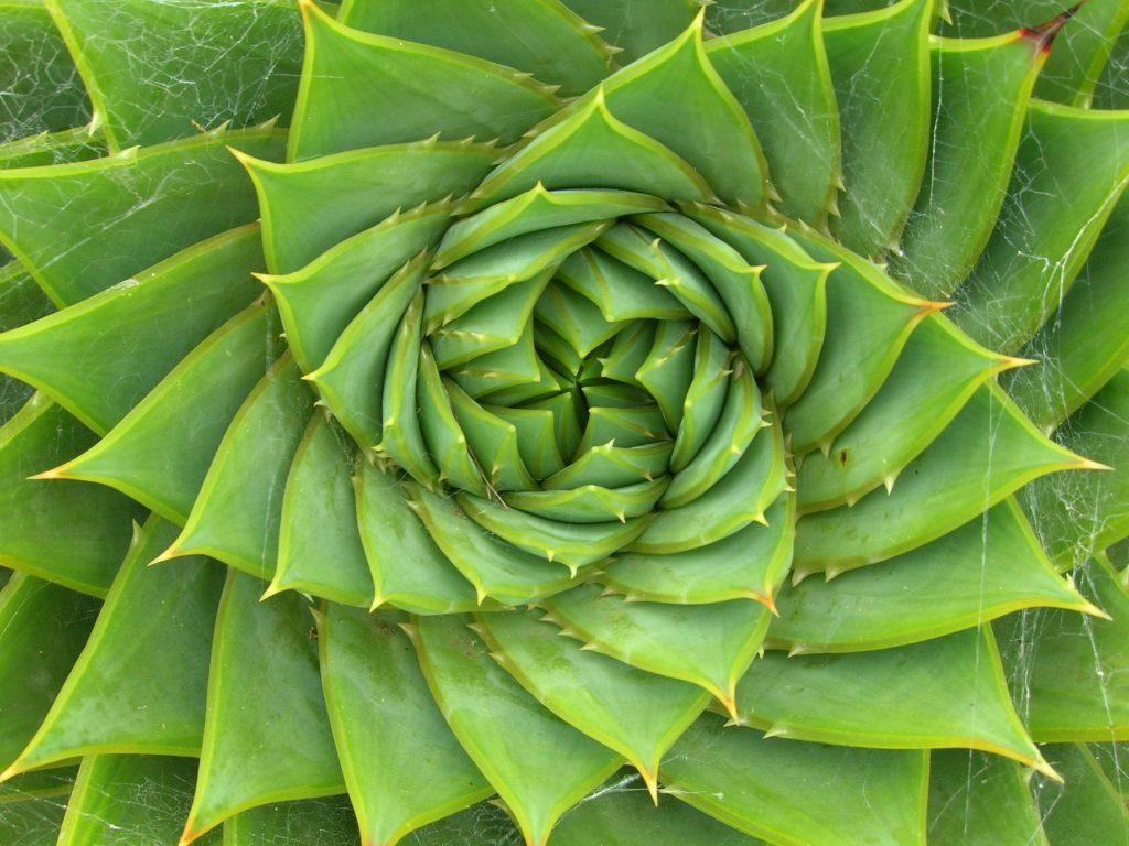 Padrão em folhas de aloe vera